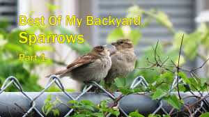 backyard birding sparrows part 1 youtube