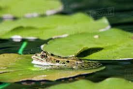 frog on a lilypad at assiniboine park in winnipeg manitoba