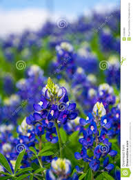 Bluebonnet Flowers - texas bluebonnet flowers stock photo image 51889088