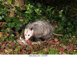 Possum In My Backyard North American Opossum Stock Photos U0026 North American Opossum Stock