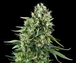 power flower feminized cannabis seeds rqs blog