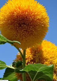 teddy sunflowers a cuddly flower the gardening cook