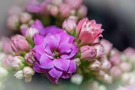 how to grow kalanchoe plants indoor flowers garden flowers