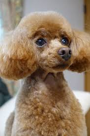Gingerdoodle by 372 Best Poodle Puppies Images On Pinterest Poodle Puppies Toy