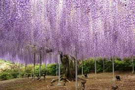 great gardens ashikaga flower park uncovering japan