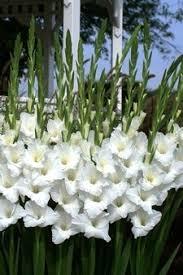 nagel u0027s white yellow orange glad catalog nagels online gladiolus