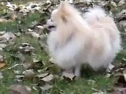 american eskimo dog price in india most beautiful pure white color pomeranian pet dog for sale youtube