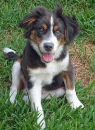 australian shepherd english bulldog mix benley the australian shepherd mix puppies daily puppy