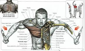 Interactive Muscle Anatomy Interactive Muscle Anatomy Human Anatomy Diagram