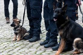 belgian shepherd diesel adorable police puppy in training pounces on officer u0027s leg aol news