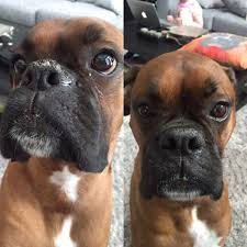 boxer dog mean treating hyperkeratosis in dogs natural dog company