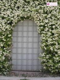 tuscan jasmine trachelospernum my perfect garden