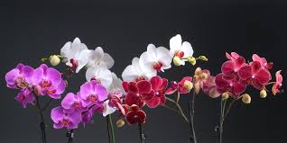 Orchid Flower Pic - westerlay orchids the gemstone collection infused phalaenopsis