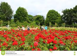 flowers garden city regents park red rose flowers london england editorial image