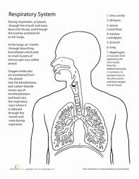 Human Anatomy Respiratory System Inside Out Anatomy The Respiratory System Worksheet Education Com