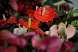 anthurium flower anthurium info all about anthurium cut flower and pot plant