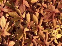 plant guide ipomoea batatas sweet caroline bronze