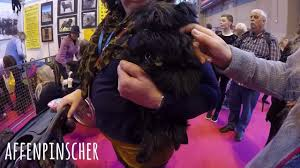 affenpinscher crufts 2016 crufts 2017 gundog day filmed using gopro hero 5 karma grip
