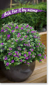Shrub With Fragrant Purple Flowers - virginia sweetspire 3 ft fragrant summer flowers red foliage in