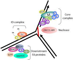 frontiers molecular and cellular functions of the fancj dna