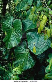 Tropical Climbing Plant - climber plant in the tropical rainforest stock photos u0026 climber