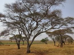 cool trees tarangire national park 90 cool trees temporarily lost