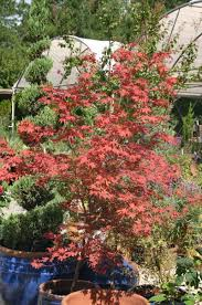buy landscape trees hedges u0026 shrubs in raleigh norwood road garden