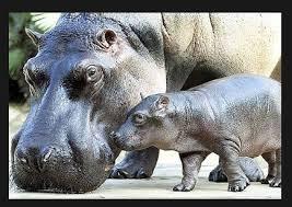 si e social hippopotamus 65 best hippos images on hippopotamus rhinoceros and
