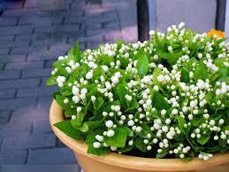 aliexpress com buy white jasmine flower seeds fragrant plant