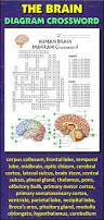 brain crossword with diagram editable student learning brain