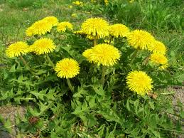 Dandelion Facts Fun Facts Archives Survival Gardener