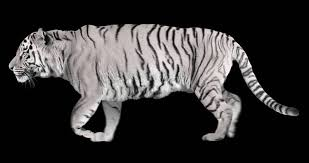 white tiger runs isolated and cyclic animation 動画素材 12347009