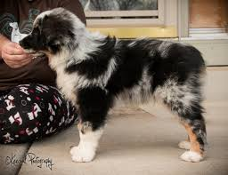 australian shepherd 2 months stacked dogs chaz hound dog forums