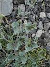 Image result for Acleisanthes longiflora