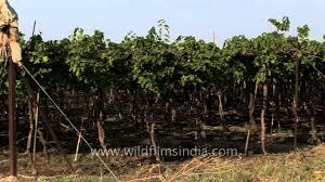 grape vines in india u0027s california youtube