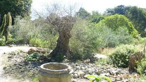 Ventnor Botanic Gardens Olive Tree Picture Of Ventnor Botanic Garden Ventnor Tripadvisor