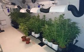 chambre de culture fait maison seine et marne 66 plants de cannabis dans les combles de la maison