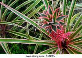 ornamental variegated pineapple fruit stock photo royalty