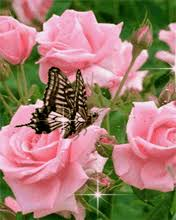 peterslover images roses and butterflies for susie wallpaper
