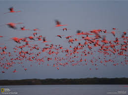 flamingos photo gallery pictures more from national