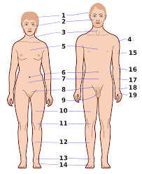 Picture Human Body Body Wiktionary