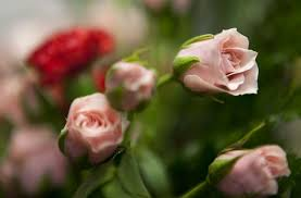 the prices and lifespans of 9 popular flowers for valentine u0027s day