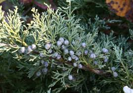 you could use the greenery of the juniper pine tree and a splash