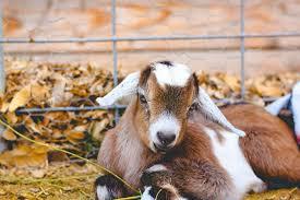 a natural goat dewormer that works weed u0027em u0026 reap