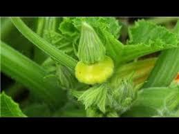 indoor gardening tips how to grow yellow squash indoors
