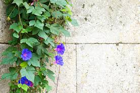Climbing Plants For North Facing Walls - 10 climber plants for your new backyard gemmill homes