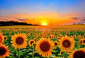 field of sunflowers flower gardens flowers pixoto