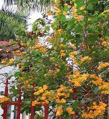 bougainvillea breadfruit and bromeliads ornamental plants and