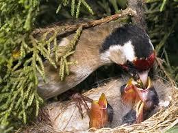 تكــاثر الطيور Images?q=tbn:ANd9GcTnREX5K0Ey4KOnJ8jjN6Ur0x4ca9o7w-42TdRhnDa-23TFND3ABjVGMnWa