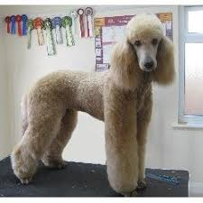 standard poodle hair styles 17 best poodle haircuts images on pinterest poodles standard